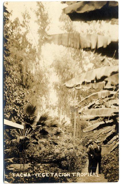Tacna – Vegetación Tropical